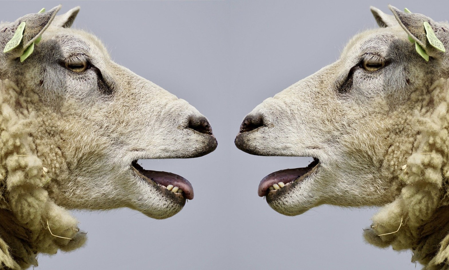 sheep facing each other with mouths open